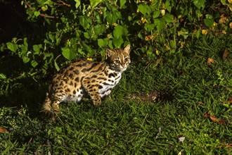南投幼貓被撞男急求救 網見特殊斑紋嚇壞:是石虎