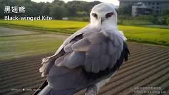 屏科大老鷹棲架受歡迎 捕捉40多種鳥類超萌休息模樣
