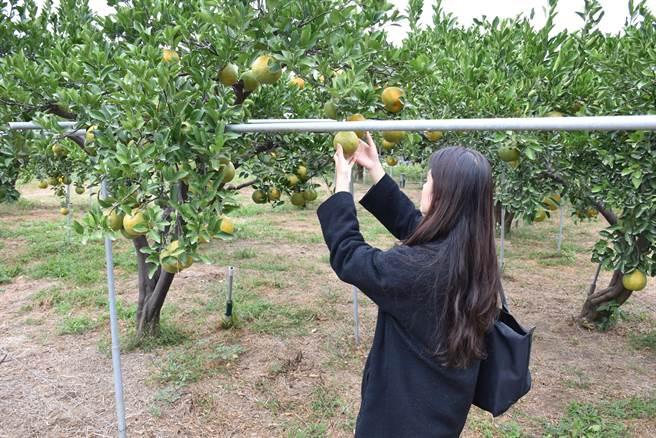 三灣鄉大河村黃家果園椪柑盛產大出,品質並未受旱害影響。(謝明俊攝)