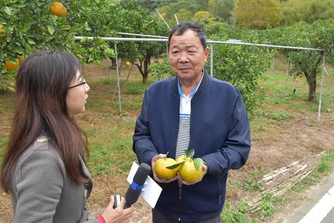 三灣鄉大河村長李運光大推村內優良椪柑,品質並未受旱害影響。(謝明俊攝)