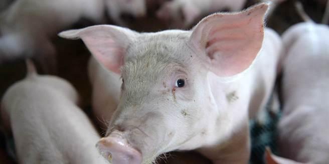 近來網路流傳開放進美國萊豬或豬內臟變廚餘後,廚餘養豬將造成全台灣豬變萊豬,農委會8日傍晚特別發出新聞稿澄清。此為示意圖。(中新社)