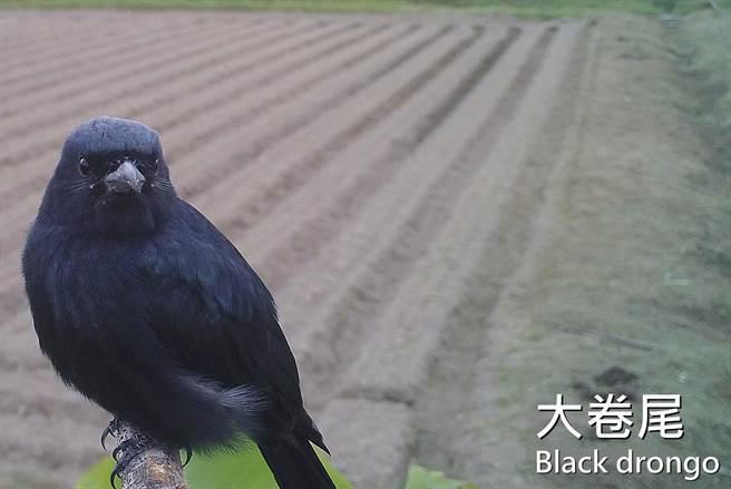 屏科大鳥類生態研究室設立老鷹棲架,並在棲架上裝設監測相機,拍攝到大卷尾的可愛鏡頭。(屏科大鳥類生態研究室提供/潘建志屏東傳真)