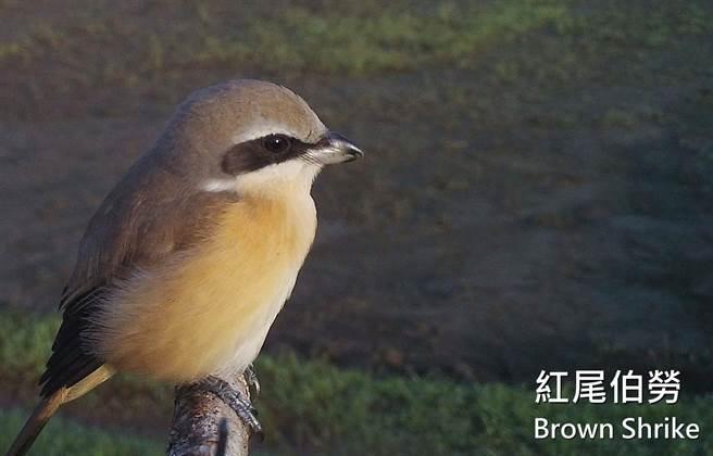 屏科大鳥類生態研究室設立老鷹棲架,並在棲架上裝設監測相機,拍攝到紅尾伯勞的可愛鏡頭。(屏科大鳥類生態研究室提供/潘建志屏東傳真)
