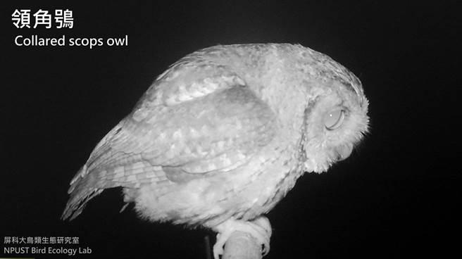 屏科大鳥類生態研究室設立老鷹棲架,並在棲架上裝設監測相機,拍攝到領角鴞等猛禽的可愛鏡頭。(屏科大鳥類生態研究室提供/潘建志屏東傳真)