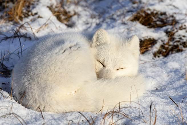 日本遊客至藏王狐狸村,看到幾隻炸毛的北極狐,模樣非常可愛,好像會行走的棉花糖。(示意圖/達志影像)