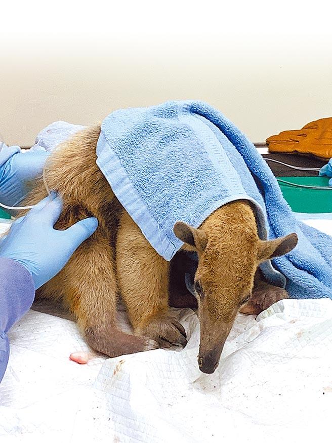 台北市立動物園脫逃逾3個月的小食蟻獸「小紅」將在檢疫舍接受一個月照顧,動物園表示,因小紅進駐熱帶雨林區後隔2天就脫逃,因此還不確定何時會再和大家見面。(台北市立動物園提供/游念育台北傳真)