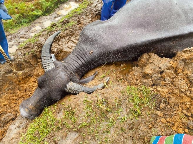 陽明山擎天崗一個月內,有6頭水牛群體暴斃。(王姓民眾提供/張薷台北傳真)