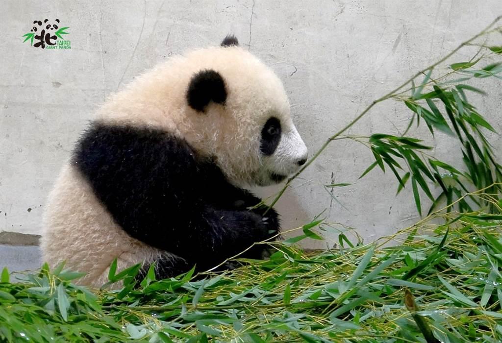 大貓熊寶寶「圓寶」充飽電,就像是一隻小狗,喜歡到處亂跑,而當牠累了以後,一秒就能隨地睡覺。(圖/臺北市立動物園提供)