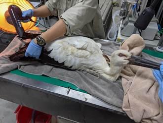 瀕危珍稀東方白鸛太瘦軟腳 新北動保處急救援