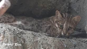 逃家石虎找到了 北巿動物園在誘捕籠中發現飛飛