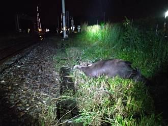 6日才剛撞!台鐵今晚再度撞牛 自強號機車鼻頭蓋受損