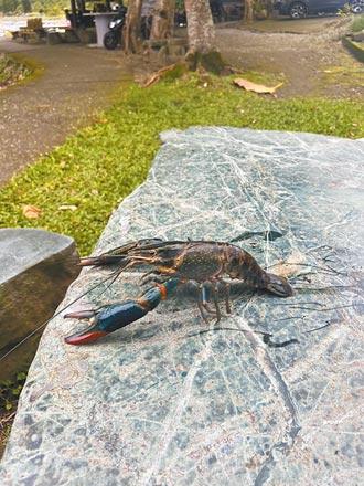 螯蝦入侵鯉魚潭 放養原生種補救