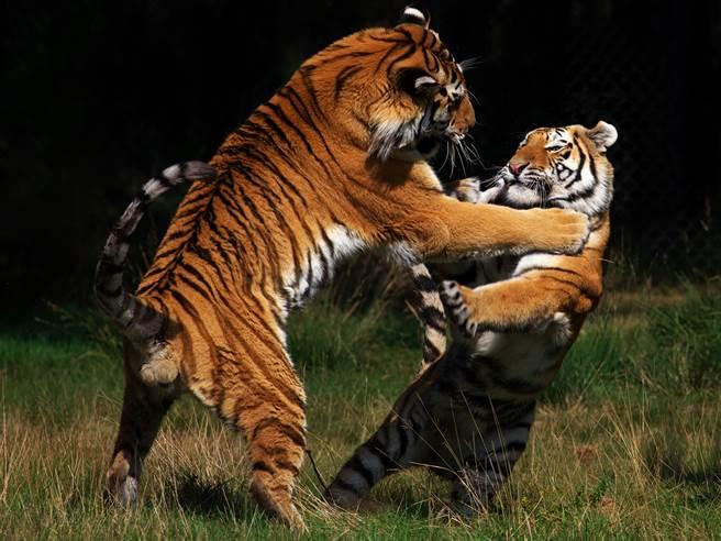 老虎女兒想和媽媽分享領地,卻慘遭拒絕,母女倆因此上演一場「家庭內鬨」的打鬥。(示意圖/達志影像)