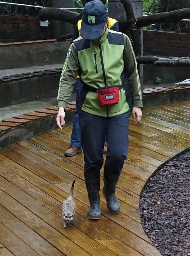 狐獴表示,保育員姊姊,地板濕濕的耶!我可以先回家了嗎?(台北市動物園提供/游念育台北傳真)