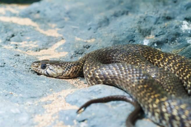 有遊客在澳洲海灘目睹了東部棕蛇游泳的驚人畫面。(示意圖/達志影像)