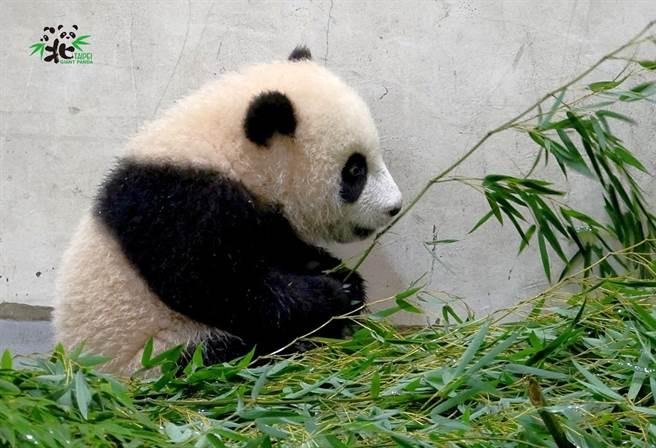 大猫熊宝宝「圆宝」充饱电,就像是一只小狗,喜欢到处乱跑,而当牠累了以后,一秒就能随地睡觉。(图/臺北市立动物园提供)