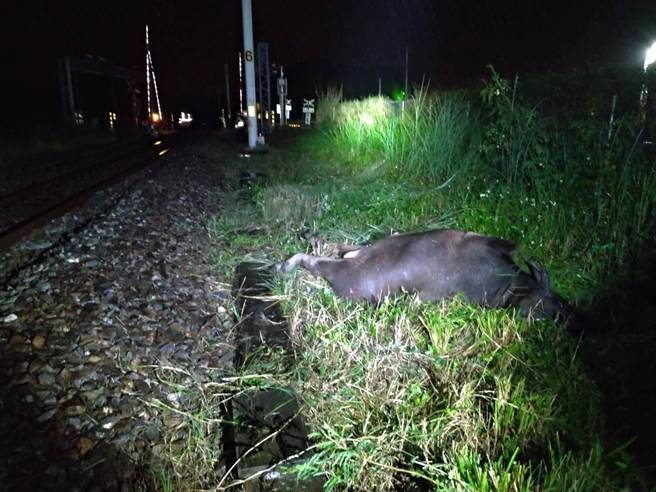 台鐵花蓮東竹至富里間路段,今晚有一頭牛遭自強號撞擊,造成列車機車鼻頭受損。(台鐵提供/羅亦晽花蓮傳真)