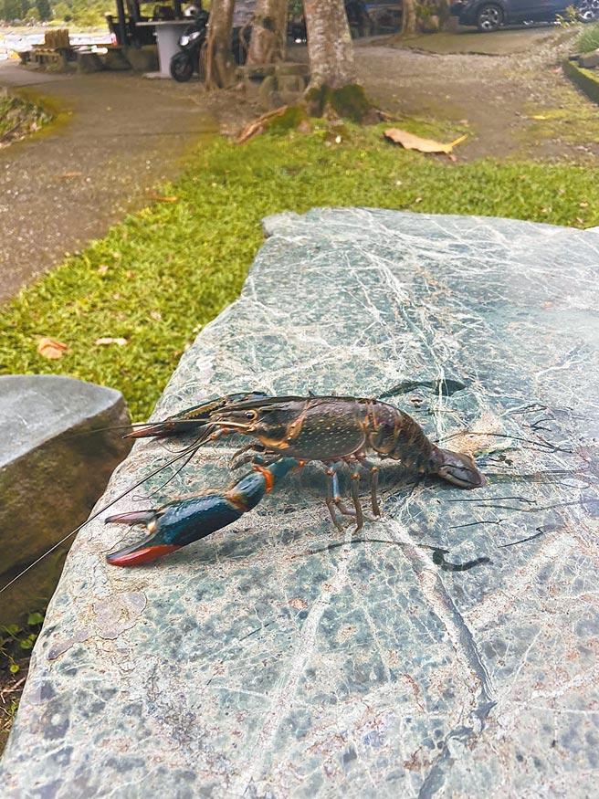 有民眾在花蓮鯉魚潭發現澳洲淡水龍蝦蹤跡,擔憂外來種破壞生態。(民眾提供/羅亦晽花蓮傳真)