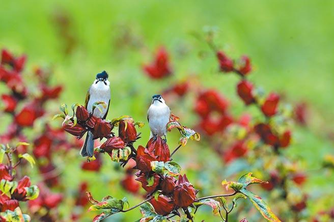 紅寶石般的洛神花萼與烏頭翁同框,鳥友說,這是台東限定版。(莊哲權攝)