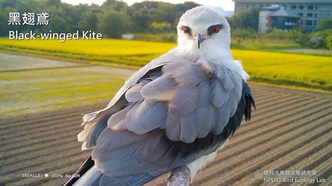 屏科大鳥類生態研究室設立老鷹棲架,並在棲架上裝設監測相機,拍攝到黑翅鳶等猛禽的可愛鏡頭。(屏科大鳥類生態研究室提供/潘建志屏東傳真)