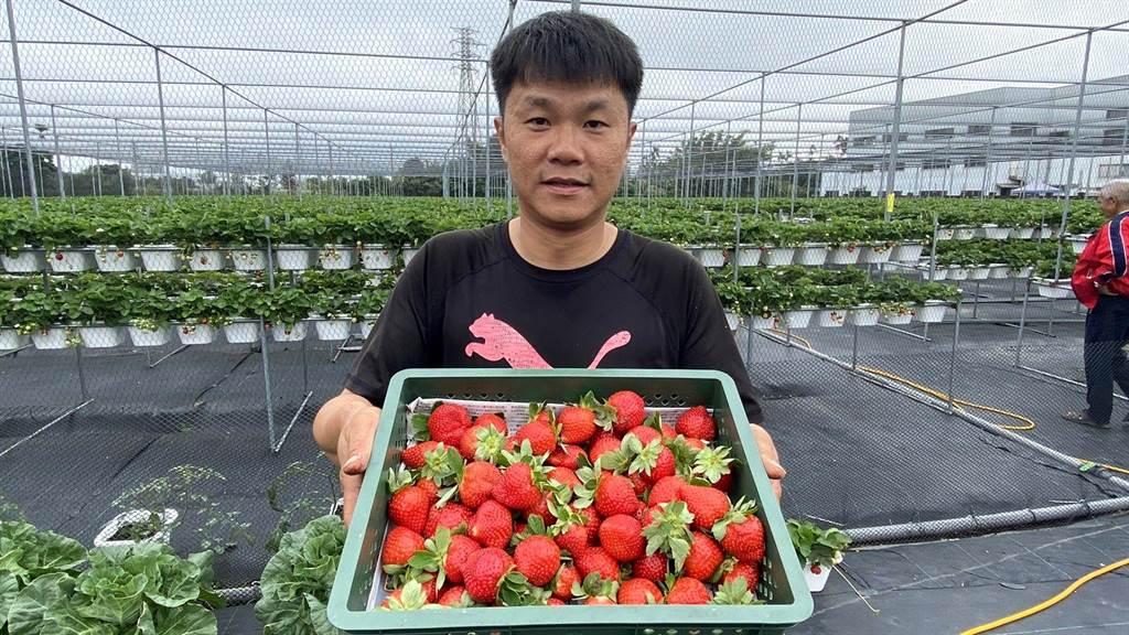 林煜杰為了女兒從農,初種草莓就繳出亮眼成績單。(王文吉攝)