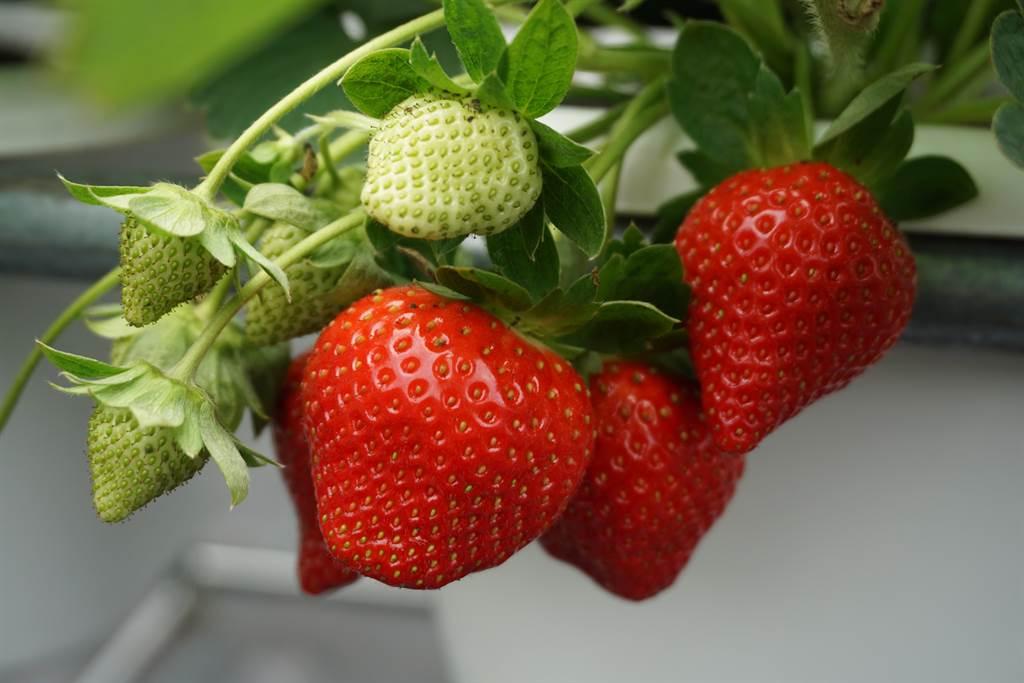 林煜杰一人照料1萬株草莓,品種主要是香水與美姬。(王文吉攝)