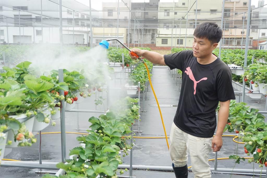 林煜杰靠著「薄肥多施」,2天噴灑1次液肥,成功在平地種植草莓。(王文吉攝)