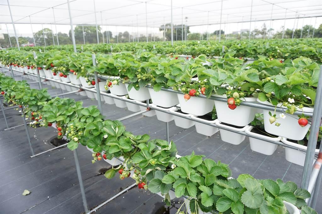 林煜杰承租叔叔農地,初種草莓就繳出亮眼成績單。(王文吉攝)