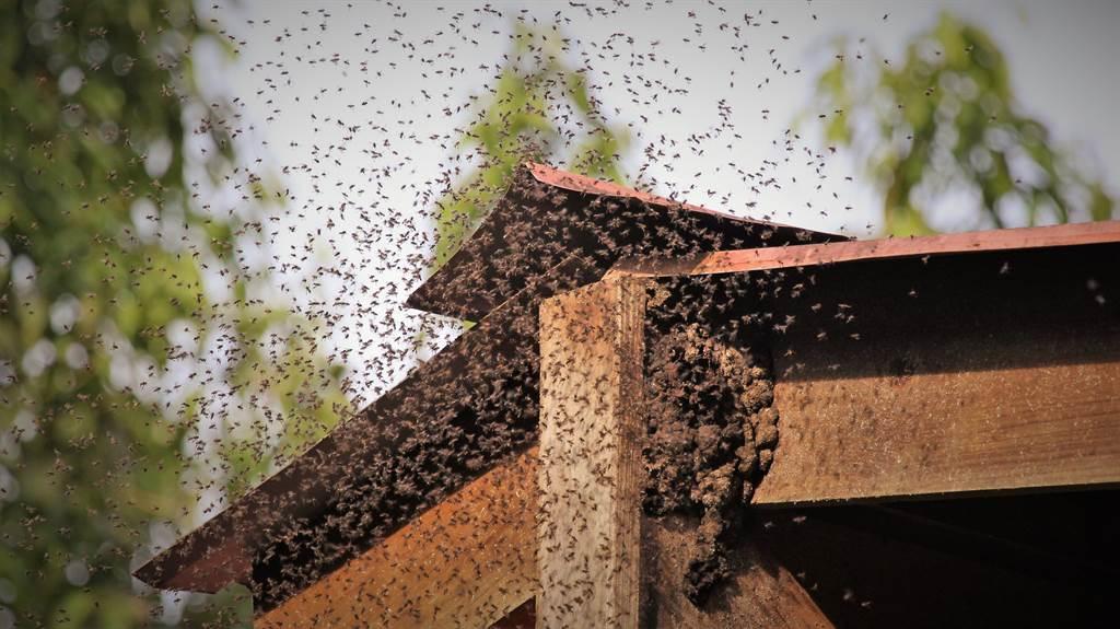南韓有屋主發現,家裡經常飛進百隻蜜蜂,儘管已將外牆的洞口補上,但數量卻不減反增,直到掀開天花板後,才發現一個巨型蜜蜂窩。(示意圖/達志影像)