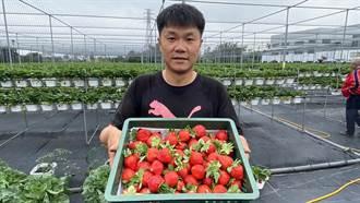 貨車司機女兒愛吃草莓 乾脆轉行青農自己種