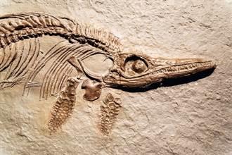 懸崖塌陷驚現1.5億年前魚龍 胃全黑專家驚:是最後一餐