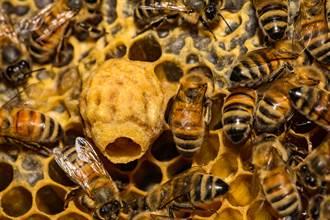越南蜜蜂不採蜜改收人屎 科學家研究驚現真相