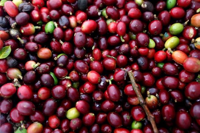 研究发现咖啡可改善运动表现,而且不管是偶尔喝一杯的人,还是天天喝数杯的人,都有效且效果差不多。图为刚收成的咖啡果实。(图/路透社)