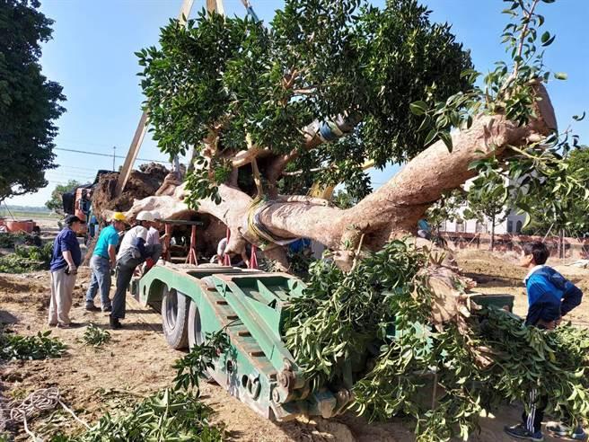 3棵百年茄苳神木遭盜,保七跨4縣市瓦解山老鼠集團。(保七總隊提供/謝佳潾屏東傳真)