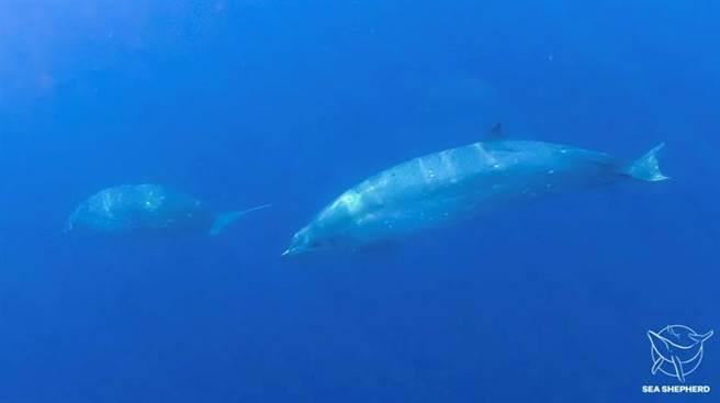科學家發現了一種前所未見的喙鯨,可能是新品種。(路透/ Sea Shepherd)
