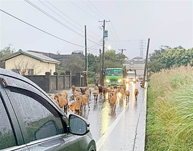 交通堵塞、後照鏡被撞壞 駕駛氣壞下車看傻:兇手一群羊(圖片取自/我是新屋人)