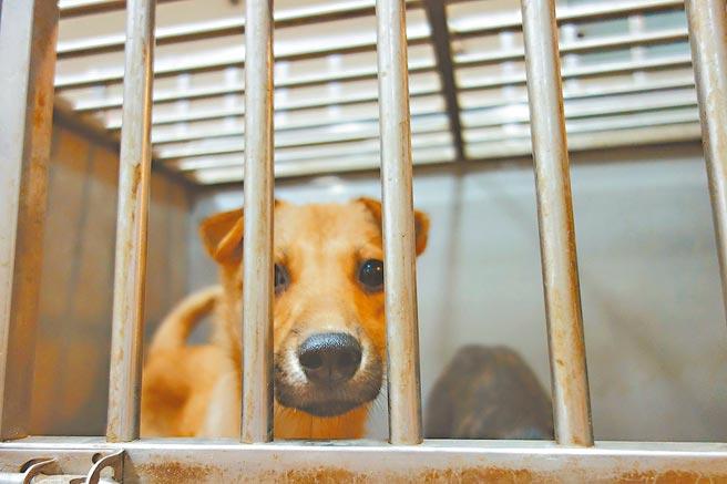 新竹縣家畜疾病防治所收容浪浪,因即將改建,也向外徵求「短期保母」。(莊旻靜攝)