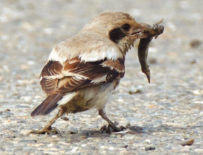 鳥友日前在台南八掌溪河口發現1隻台灣從未正式記錄過的迷鳥「灰伯勞」。(台南鳥會提供/李宜杰台南傳真)
