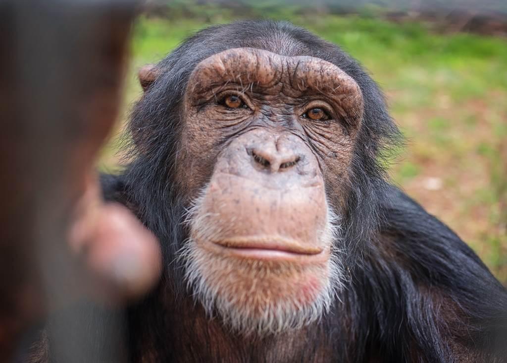 黑猩猩示意圖。(圖/達志影像)