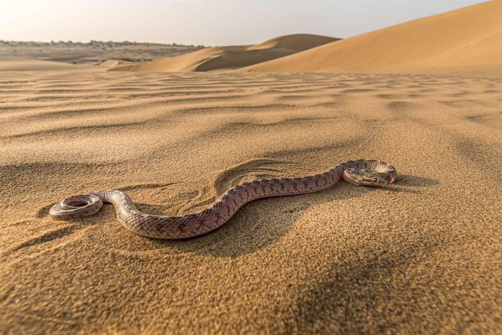 蛇的頭疑似被鳥吃掉,但牠仍還沒有死,被攻擊後便開始爬行,似乎想找到攻擊者。(示意圖/達志影像)