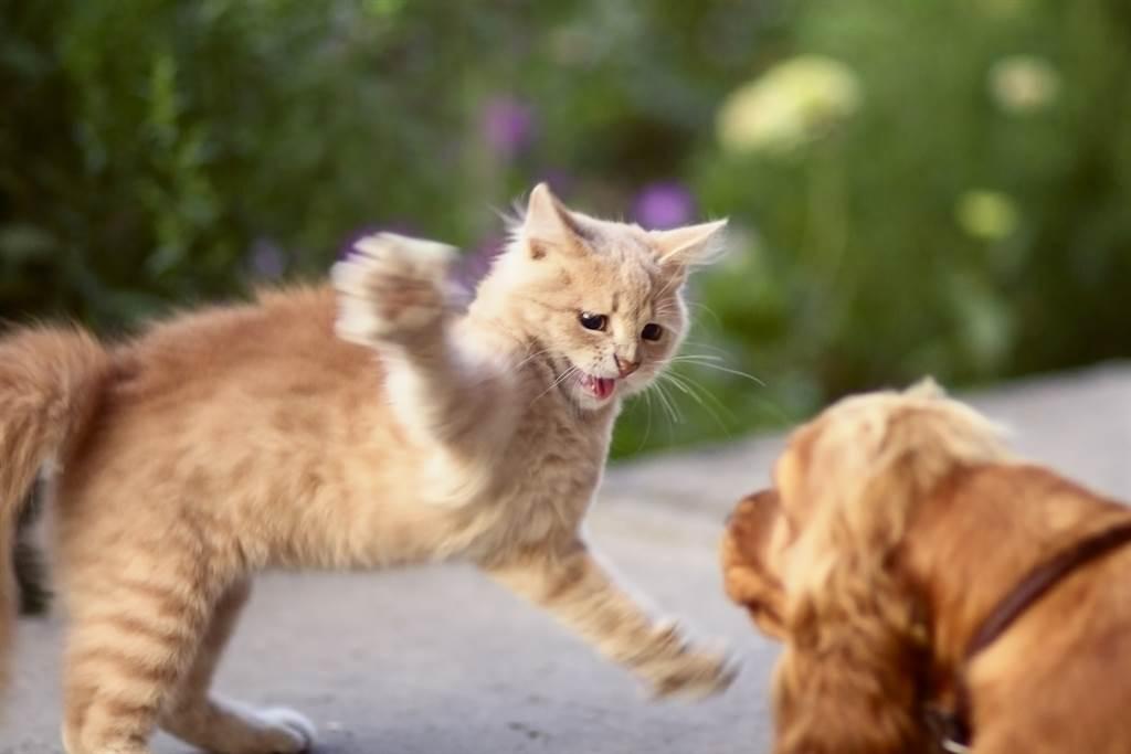 黑貓幼年時體型較小,曾被虎斑貓巴過頭,而牠也未忘記當時的羞辱,長大後便吃胖報復。(示意圖/達志影像)