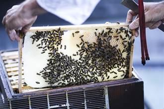 放屎抹壁為護家 越南蜜蜂還吃大便對付亞洲殺手