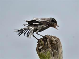 迷鳥灰伯勞被油汙染成黑伯勞 保育人士關切