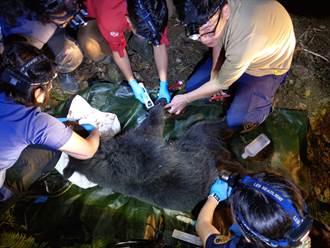台灣黑熊受困海端鄉工寮 林管處連夜救援脫困