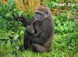動物園金剛寶寶命名票選 Jabali諧音「呷百二」受網友喜愛