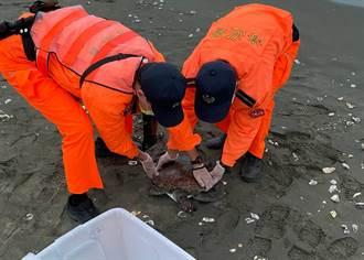 疑誤食海洋廢棄物 綠蠵龜命喪沙灘