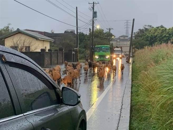 桃園市觀音區嘉富路往台66快速道路方向處,竟出現羊群逛大街,更有民眾的車後照鏡被羊撞斷,讓他哭笑不得。(翻攝照片/黃婉婷桃園傳真)
