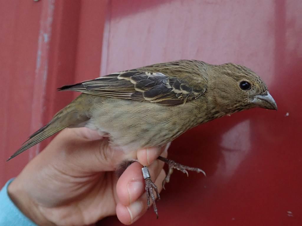 太魯閣國家公園生態豐富,長年觀察記錄鳥類生態,追蹤到台灣稀有冬候鳥普通朱雀。(太管處提供/王志偉花蓮傳真)