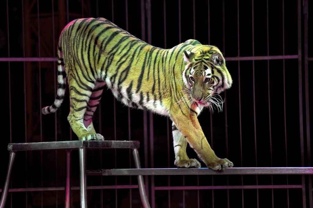 老虎突然抓狂攻擊馴獸師,調查後才發現,這一隻老虎根本沒牙齒,眾人推測應該是被馬戲團拔光,讓人看了非常氣憤。(示意圖/達志影像)