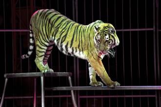老虎發狂咬馴獸師「被打也不鬆口」 揭恐怖內幕:牠根本沒牙